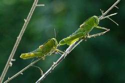 two green grasshoper with blurry background