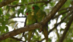 two green parrots perched sitting on a branch in a tree
