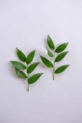 Two green plant branches with leaves on white background. Idea for herbarium, scientific study, eco trend photo. Simple and beautiful picture, nothing extra.
