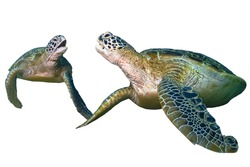 Two green sea turtle sitting isolated on white background