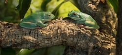 two green tree frogs laying on a tree branch