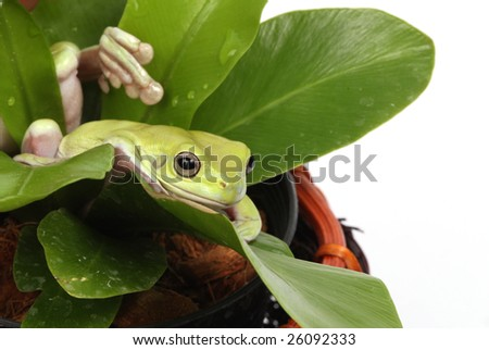 two green treefrogs camouflaged in a pot plant