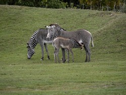 Two Grevy's zebra mares, Equus grevyi, with a sucking foal