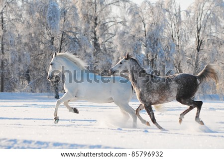 two grey horses run free trough winter time