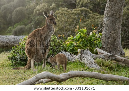 Two grey kangaroos in Australian wildlife bush