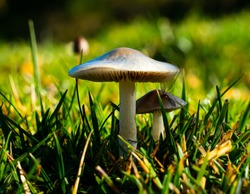 Two grey mushrooms growing in the moist grass on a meadow.