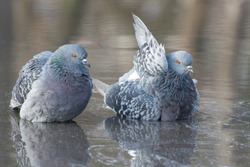 Two grey pigeons are bathing in the rain water with reflection on clear water.