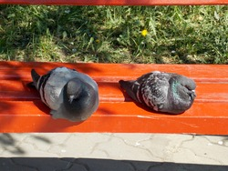 Two grey pigeons are perched on an orange wooden bench in the Park. Doves seems as if they are angry, offended or resting together. Green grass, yellow flowers. Urban birds close up. Relax on a summer