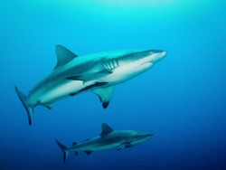 Two grey reef sharks in formation on a blue background at Kilibobs Knob, Papua New Guinea.
