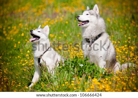 two grey siberian huskies