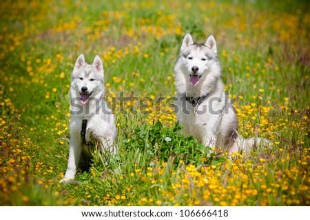 two grey siberian huskies in a flower field