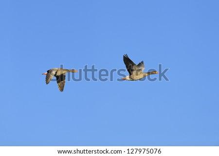 Two greylag geese (Anser anser) in flight against blue sky