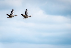 Two Greylag geese flying. Widlife birds in nature. Sweden.