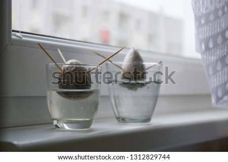 two growings avocado seeds planted by toothpicks in water in cup on window during day #1312829744