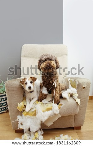 Two guilty dogs after bite and destroy a sofa with innocent expression. Stock photo ©