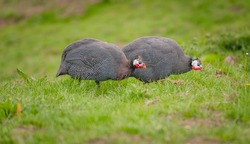 Two guinea fowl pecking on the grass