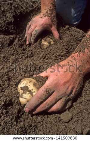 Two hands digging potatoes out of dirt.