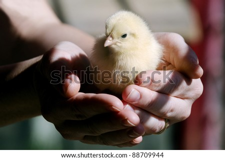 Two hands hold a little yellow chick