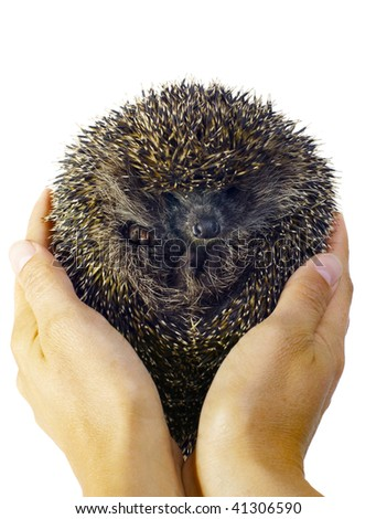 Two hands holding a hedgehog rolled in a ball. Isolated on white