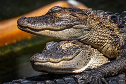 Two happy alligators smiling while sleeping
