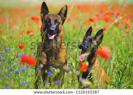 Two happy Belgian Shepherd Malinois dogs (adult and puppy) sitting outdoors in a green grass with red poppies and cornflowers in summer