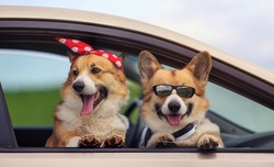 two happy Corgi dogs poked their snouts out of the car window during a summer family trip