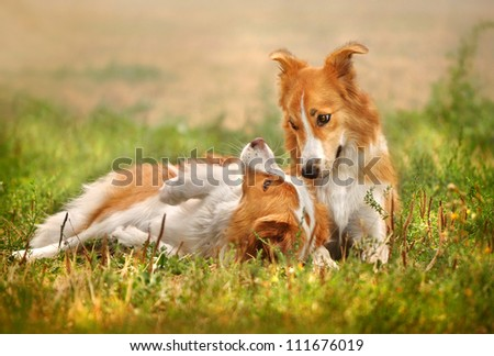 Two happy dog border collie laying on the grass