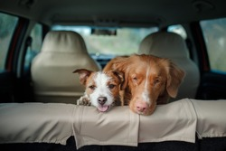 two happy dogs in the car peep out. Jack Russell Terrier. Nova Scotia Duck Tolling Retriever