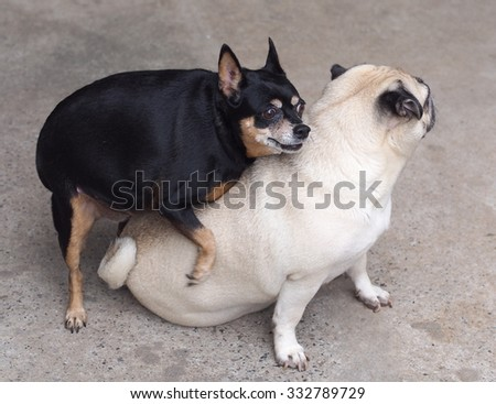 two happy funny cute lovely dogs playing together white moody pug sitting on the floor and a black fat miniature pincher dog trying to mate the pug, picture taking outdoor under natural sunlight