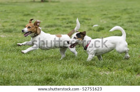 Two happy running dogs on green grass