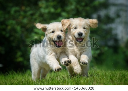 two happy running puppies of golden retriever