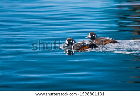 Two Harlequin Ducks (Histrionicus histrionicus) swimming in colorful harbour water in Hokkaido, Japan. One adult male and on immature male.