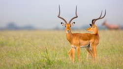 two-headed impala gazelle illusion in masai mara savanna