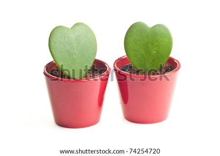 Two heart shaped needleless cactuses in red pot isolated over white