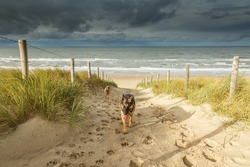 Two heaving and tired dogs, a German Shepherd and a bastard, walk on a sandy path from the North Sea Beach against the dune