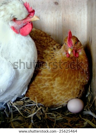two hens with a fresh big egg - stock photo