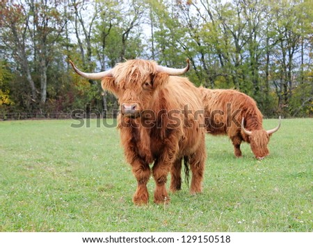 Two highland cows in a meadow