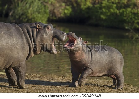 Two  Hippopotamus playing on river bank; hippopotamus amphibius