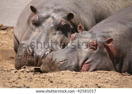 Two hippopotamus sleeping in Kenya