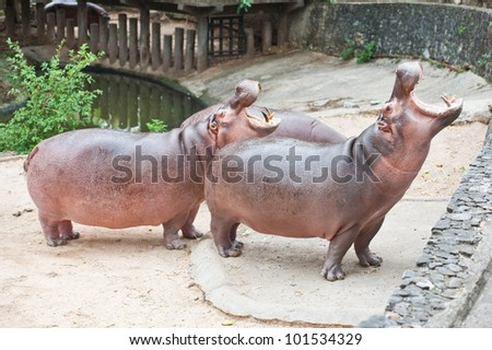 Two hippopotamuses open mouth