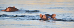 Two hippos (Hippopotamus amphibious) lying in the Zambezi river with their heads above the water surface during a sunset in Zambia, Africa. One looking straight ahead and one swimming away.