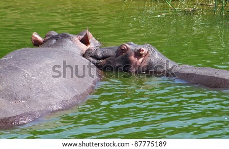 two hippos swimmimh in green water in Uganda (Africa)