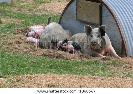 Two hog families