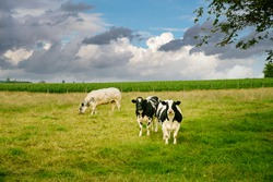 Two Holstein Friesian cows on a green grass land in Flanders looking at the camera under cloudy skies. Kortenaken, Flemish Brabant, Belgium, Europe