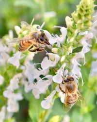 Two Honey bees (Apis mellifera) forage for nectar and pollen on the delicate white flowers of salvia.  Closeup.  Copy space.
