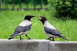 Two hooded crows are fighting on the summer lawn. Life of city birds, allegory of a family quarrel