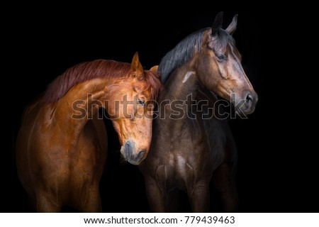 Two horse close up isolated on black background