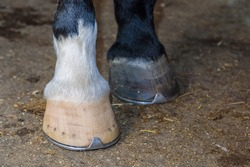 Two horse legs with hammered hooves, different colors. Two legs, close-up