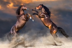 Two horse play and rearing up in desert dast against sunset sky