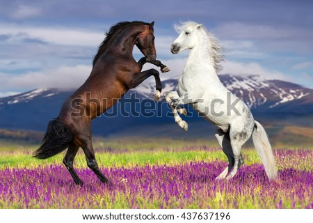 stock photo two horse rearing up against mountain view in flower field 437637196 - Каталог — Фотообои «Животные»